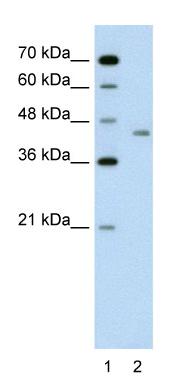 Western blot - LRP2BP antibody (ab59722)