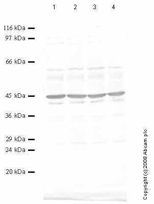 Western blot - Archaemetzincin 2 antibody - Propeptide domain (ab59926)