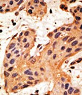 Immunohistochemistry (Formalin/PFA-fixed paraffin-embedded sections) - GJA8 antibody (ab59928)