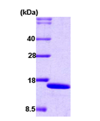 SDS-PAGE - IRF2 protein (His tag) (ab59954)