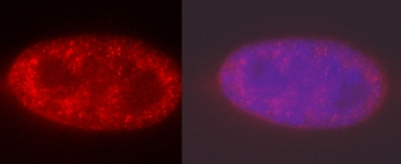 Immunofluorescence - Anti-Histone H3 (di+tri methyl  K4) antibody [mAbcam 6000] - ChIP Grade (ab6000)