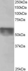 Western blot - KPNA4 antibody (ab6039)