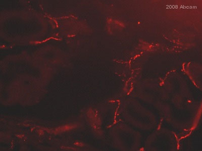 Immunohistochemistry (Frozen sections) - Choline Acetyltransferase antibody - Neuronal Marker (ab6168)