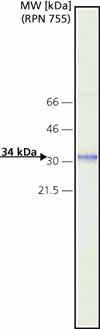 Western blot - Cathepsin D antibody [CTD-19] (ab6313)