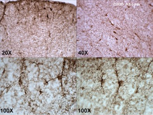 Immunohistochemistry (Frozen sections) - CNPase antibody [11-5B] - Oligodendrocyte Marker (ab6319)