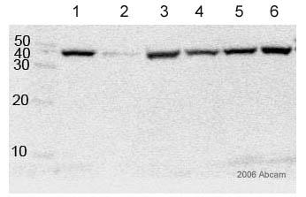 Western blot - CNPase antibody [11-5B] - Oligodendrocyte Marker (ab6319)