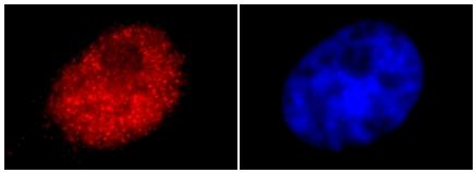 Immunocytochemistry - Cdk2 antibody (ab6538)