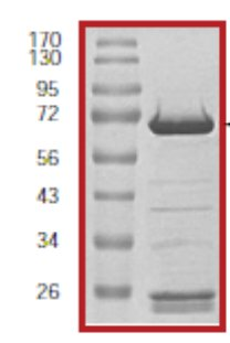 SDS-PAGE - MEK2 protein (Tagged) (ab60013)