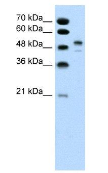 Western blot - POU3F2 antibody (ab60127)