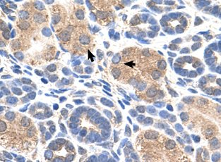 Immunohistochemistry (Formalin/PFA-fixed paraffin-embedded sections) - Anti-Wwp2 antibody (ab60130)