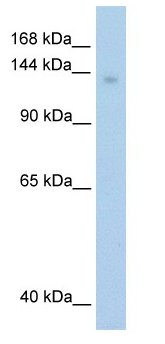 Western blot - Mov10 antibody (ab60132)