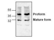 Western blot - LOX 1 antibody (ab60178)