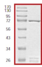 SDS-PAGE - GSK3 beta protein (Tagged) (ab60863)