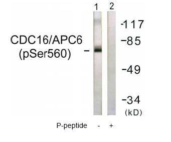 Western blot - Apc6 (phospho S560) antibody (ab61075)