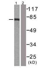 Western blot - Raf1 antibody (ab61139)