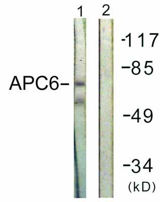 Western blot - Apc6 antibody (ab61189)
