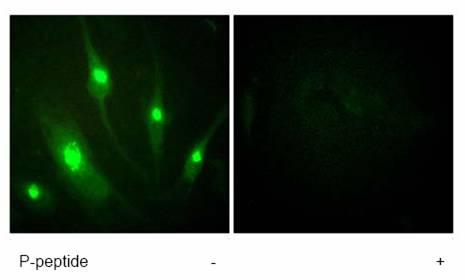 Immunocytochemistry/ Immunofluorescence - RACGAP1 antibody (ab61192)