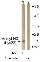 Western blot - Histone H3 (acetyl K23) antibody (ab61234)
