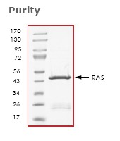 SDS-PAGE - Ras protein (Tagged) (ab61239)