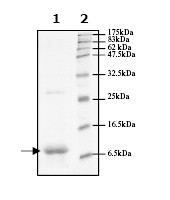SDS-PAGE - FKBP12 protein (His tag) (ab61244)