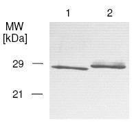 Western blot - Prion protein PrP antibody [5B9] (Biotin) (ab61333)