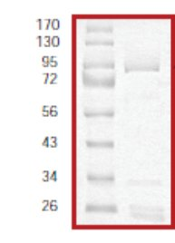 SDS-PAGE - PAK3 protein (Tagged) (ab61414)