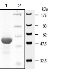 SDS-PAGE - ErbB 4 protein (Tagged) (ab61640)
