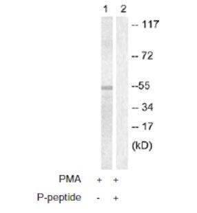 Western blot - Anti-Caspase-8 (phospho S347) antibody (ab61755)