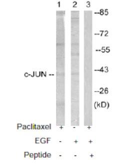 Western blot - c-Jun antibody (ab61764)
