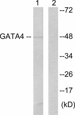 Western blot - GATA4 antibody (ab61767)