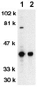 Western blot - DFFB antibody (ab62150)