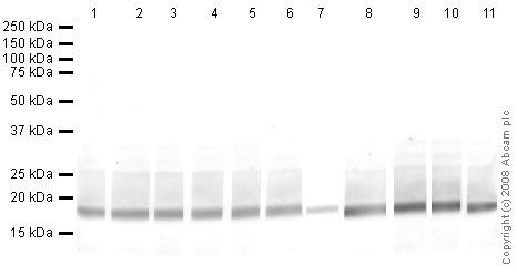 Western blot - Anti-Histone H3 (di methyl K9) antibody [mAbcam 1220] (HRP) (ab62168)