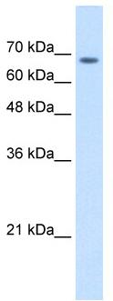 Western blot - TM9SF1 antibody (ab62173)