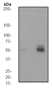 Western blot - PTP1B (phospho S50) antibody [EP1838Y] (ab62320)