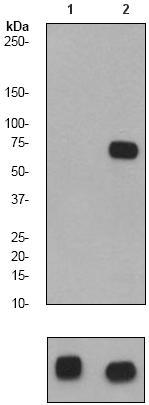 Western blot - SHP2 (phospho Y582) antibody [EP509Y] (ab62379)