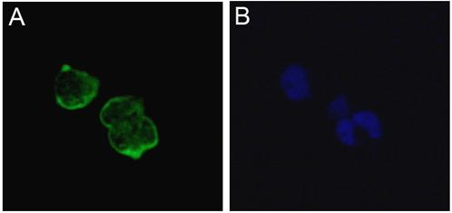 Immunocytochemistry/ Immunofluorescence - Anti-nNav1.5 antibody [4G8:1G7] (ab62388)