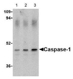 Western blot - Anti-Caspase-1 antibody (ab62399)