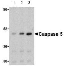 Western blot - Caspase 5 antibody (ab62401)