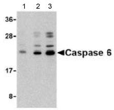 Western blot - Anti-Caspase-6 antibody (ab62403)