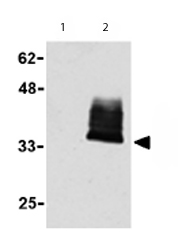 Western blot - TWEAKR antibody (ab62496)