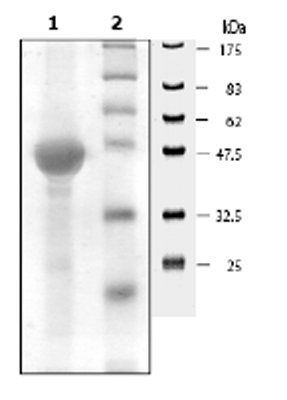 SDS-PAGE - ERK2 protein (His tag) (ab62568)