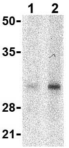 Western blot - SLUG antibody (ab62589)