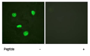 Immunocytochemistry/ Immunofluorescence - Histone H3.3 antibody (ab62642)