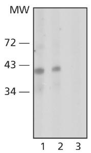Western blot - Nanog antibody [NNG-811] (ab62734)