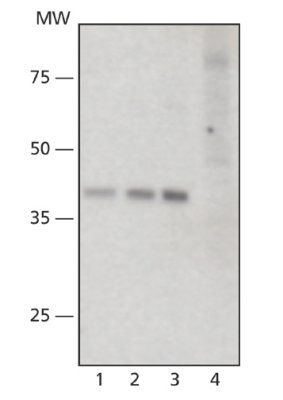 Western blot - SIRT6 antibody (ab62739)