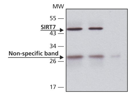 Immunoprecipitation - SIRT7 antibody (ab62748)