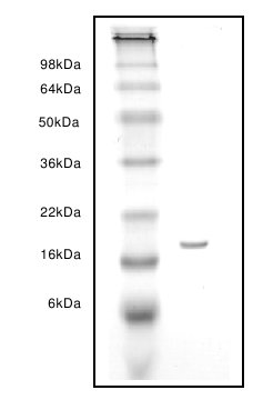 SDS-PAGE - liver FABP protein (ab63110)