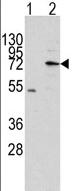 Western blot - MIPEP antibody (ab63168)