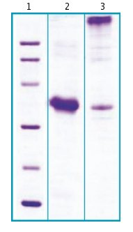 SDS-PAGE - GDF8 / Myostatin protein (Propeptide domain) (ab63300)