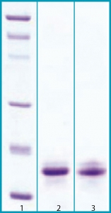 SDS-PAGE - Osteocrin protein (His tag) (ab63301)